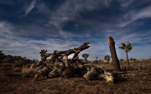 In het Joshua Tree National Park werden verschillende bomen vernield en zelfs omgehakt.