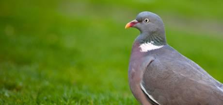Man uit Boekel schiet achterbuurvrouw in nek, wilde 'alles onder schijtende' duif raken
