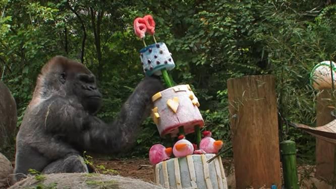Oudste mannelijke gorilla (60) in gevangenschap heeft corona