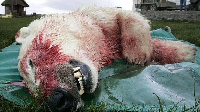 Jacht op ijsberen neemt alleen maar toe