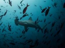 'Kwart haaien en roggen wordt bedreigd met uitsterven'