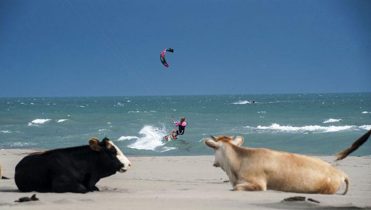 Koeien en een kitesurfer: het kaan in Ulcinj in Montenegro. Beeld afp