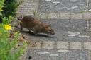 De ratten staken het tuinpad over bij de familie Maas.
