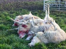 Schapen van Joan doodgebeten in Rosmalen: 'De bloederige massa was niet om aan te gluren'