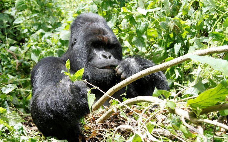 Een berggorilla in het Virunga-park waar stropers actief zijn