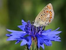 Korenveld vol bloemen en vlinders: een bedreigde rijkdom in deze regio