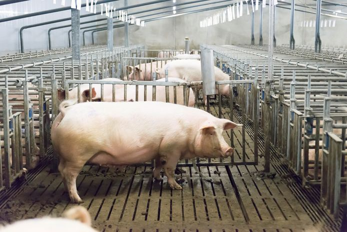 Archiefbeeld van een varkenshouderij. Waar een deel van de politieke partijen in de verkiezingsprogramma's pleit voor inkrimping van de veestapel, vindt een ander deel dat juist niet nodig.