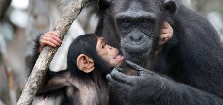 Illegale handel in chimpanseevlees steeds populairder