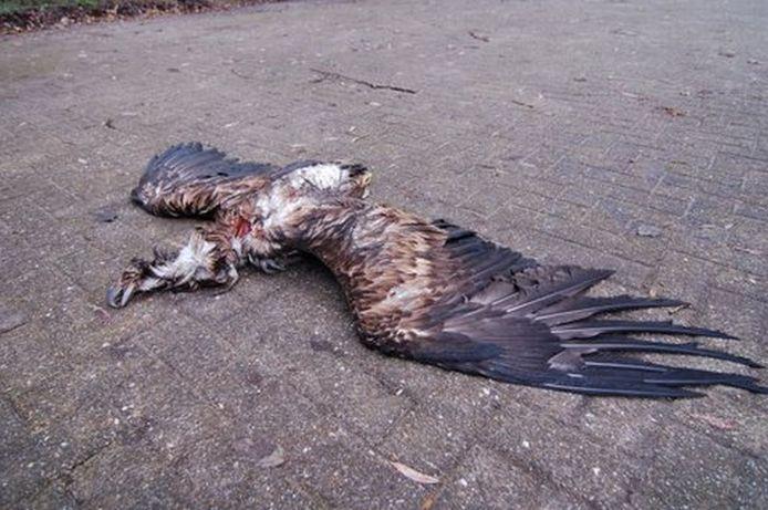De dode Zeearend foto's: staatsbosbeheer/frank de rooder