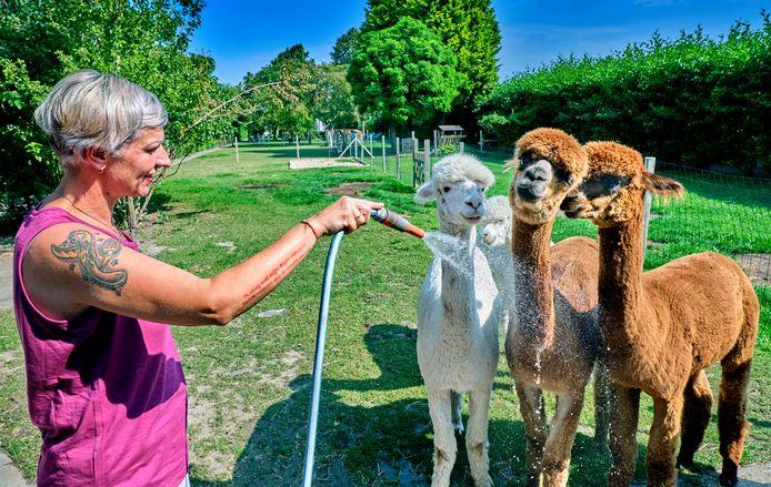 Mirella Westhuis van Alpacake tracteert de alpaca's op een koude douche tijdens de hittegolf .