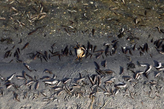 Pour le quatrième jour consécutif, des poissons morts continuent d'apparaître sur les plages de La Manga del Mar Menor, Murcie, Espagne, 21 août 2021.