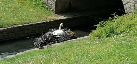 Le nid du couple de cygnes du parc de la Boverie va être déplacé