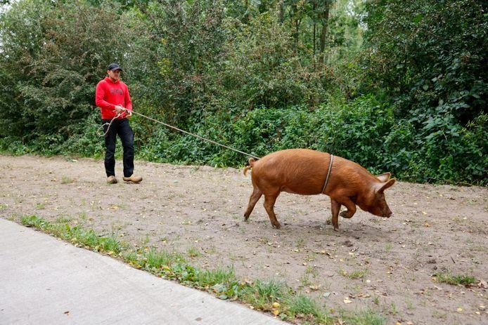 Hans Louwerse heeft het varken in Ede gevangen met een lasso.