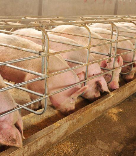 Retour à la normale dans un élevage porcin épinglé pour maltraitance