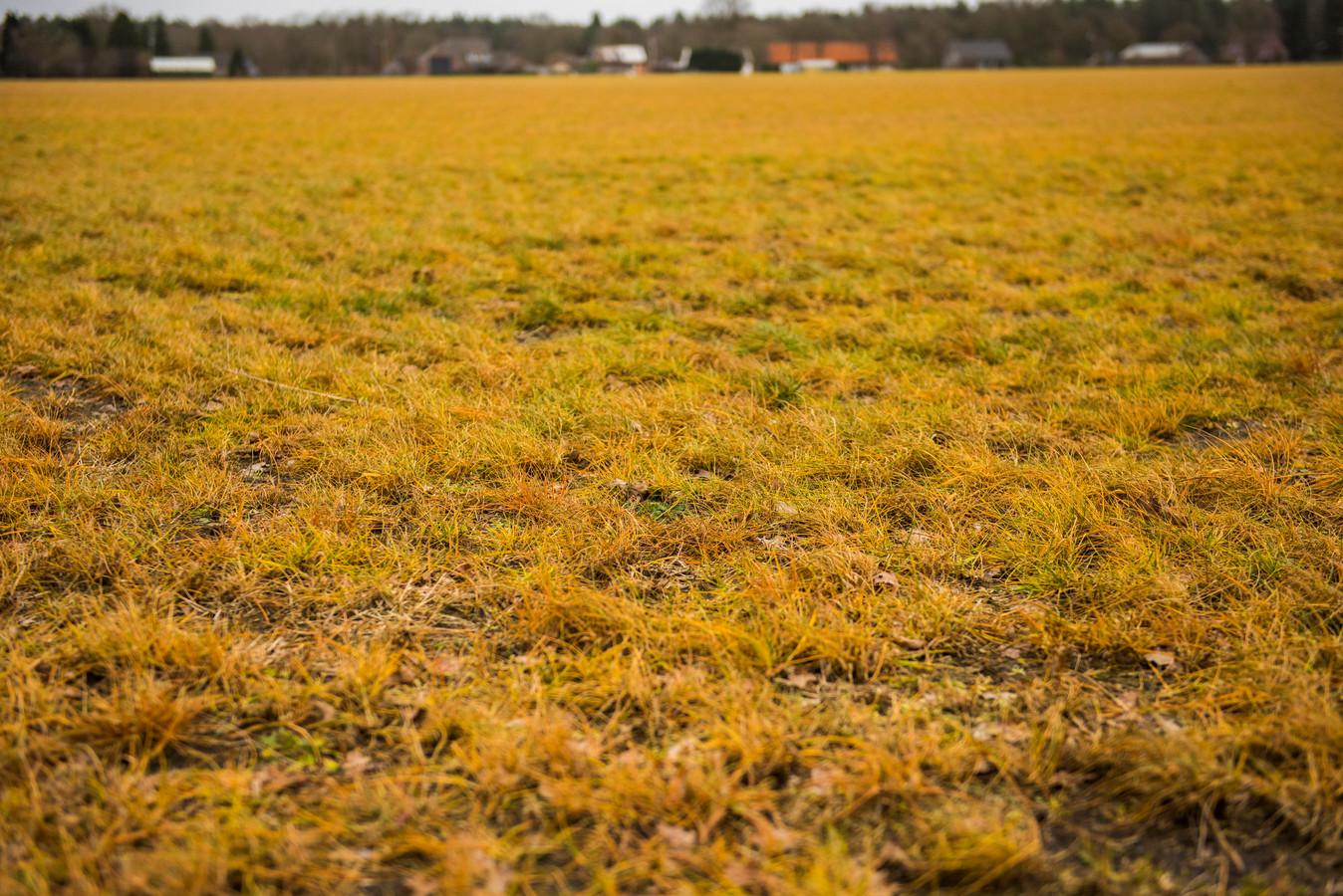 De gele kleur van bespoten weilanden is steeds minder te zien. Olst-Wijhe verbiedt het omstreden glyfosaat op landbouwgrond van de gemeente.