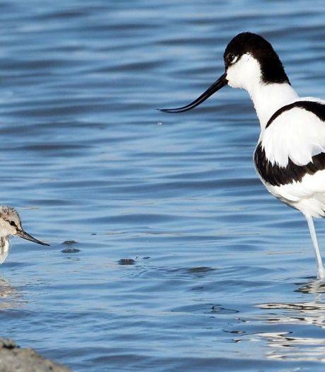 Goed jaar voor weidevogels in Midden-Delfland, gruttoplas in Kraaiennest meteen een succes