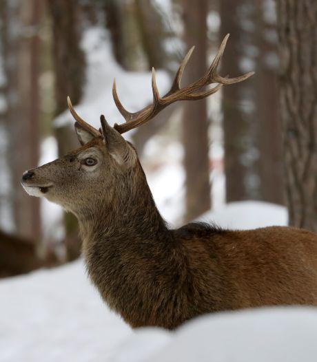 Un cerf se balade avec une guirlande lumineuse coincée dans ses bois depuis Noël