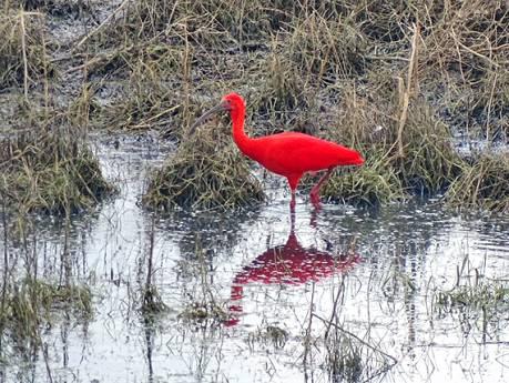 Fotografe Adrie legt exotische, oranjerode ibis vast in Herwijnen: 'Vogel moet wel ergens zijn ontsnapt'
