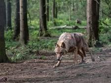Provincie: Er loopt een wolf op de Veluwe