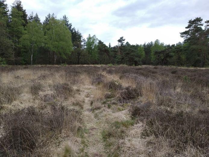 Heide met pijpenstrootje, dat in grote gele pollen groeit. Het is het meest voorkomende gras.
