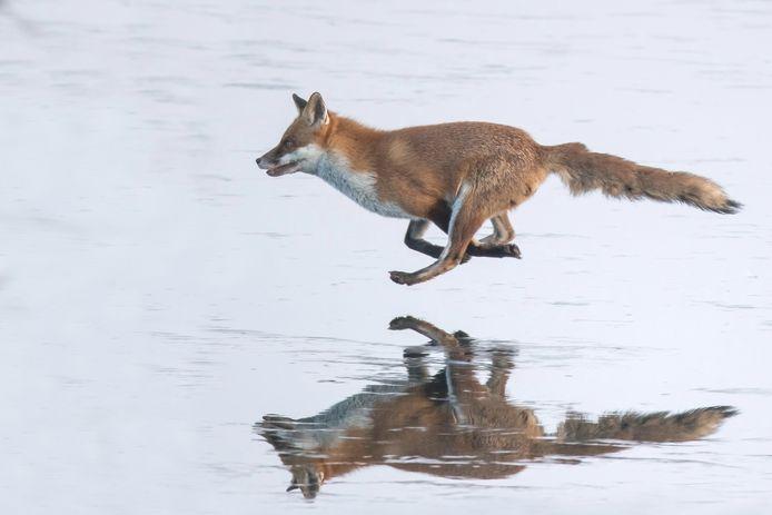 En vos die over het bevroren Gavermeer loopt, dat was in 2012.