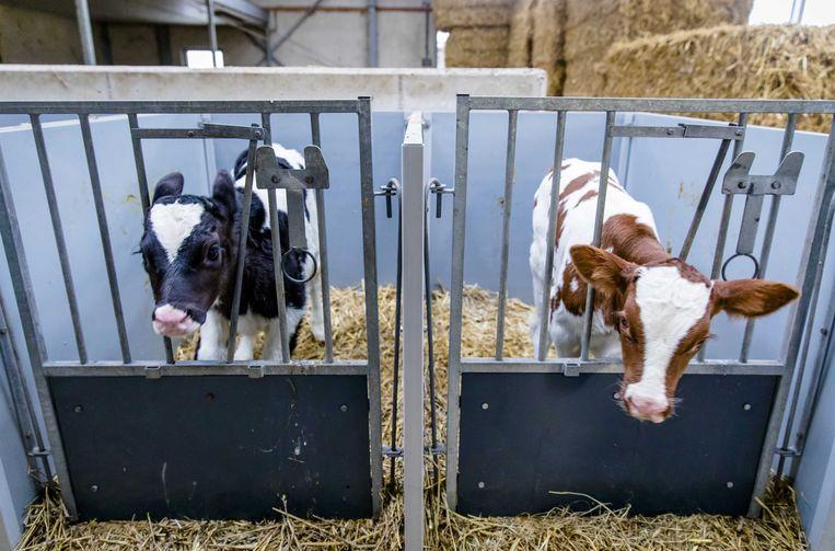 Kalfjes staan op stal bij een melkveehouder in Reeuwijk.  Beeld ANP
