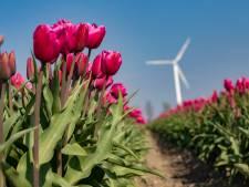 Corona of niet: volgend voorjaar Flevolandse route langs de tulpen