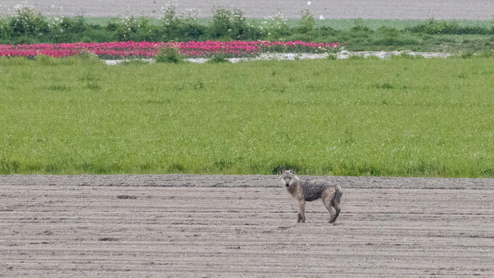 Het dier dat Hans-Peter Nouwen zondagmorgen 25 april fotografeerde nabij Dinteloord is vermoedelijk de eerste wolf in West-Brabant.