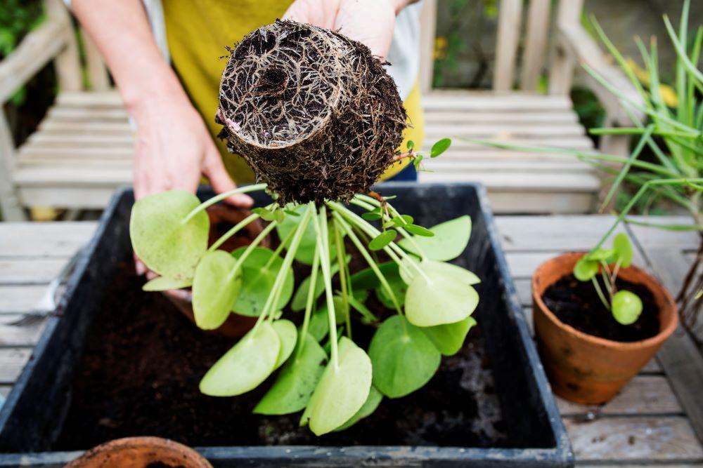 Vaste planten groeien soms zo hard dat ze zichzelf na een paar jaar verstikken en nog amper groeien en bloeien