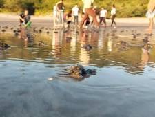 Des centaines de bébés tortues relâchées dans la mer au Nicaragua