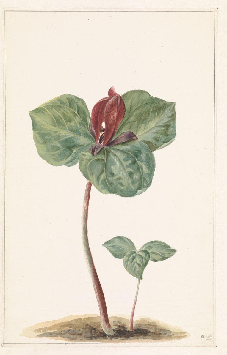 Trillium Trillium, 1817, anoniem. Beeld Rijksmuseum