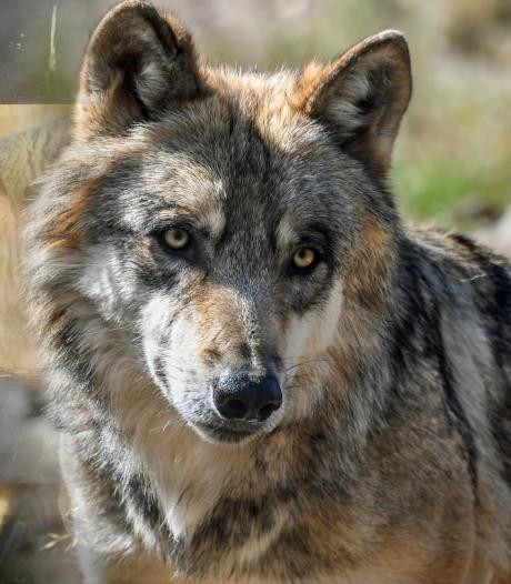Niet alle dode Vlaamse schapen waren slachtoffer van wolf Naya