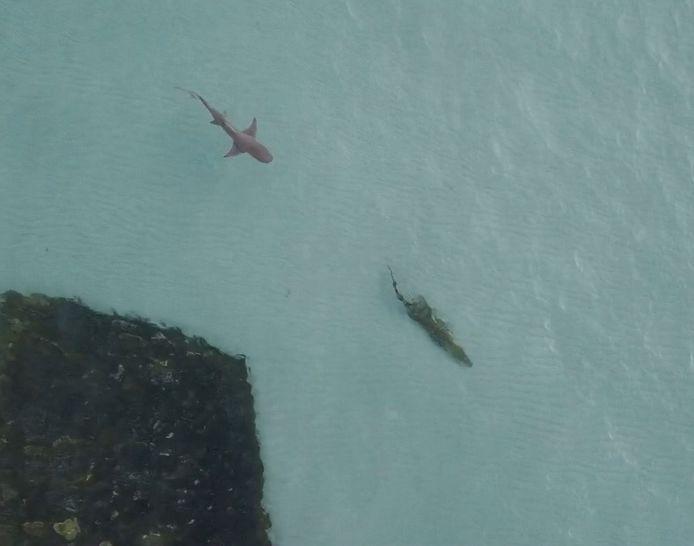 Le 10 avril, un requin tigre a été filmé en train de traquer un crocodile près des Îles Wessel, en Australie.