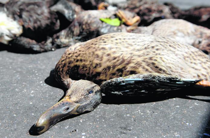 Dode eenden kunnen wijzen op botulisme.