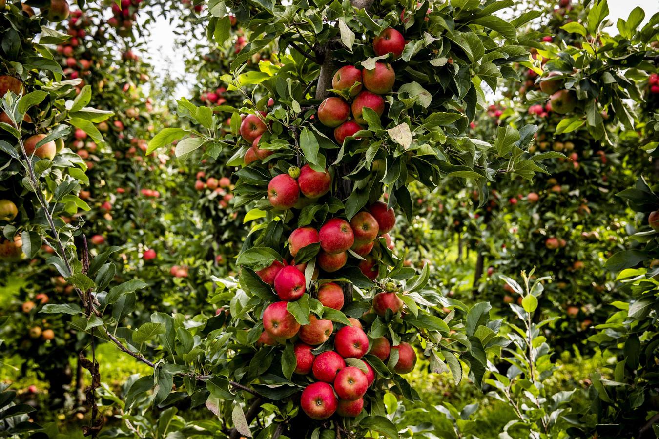 Een boomgaard met Elstar-appelbomen.