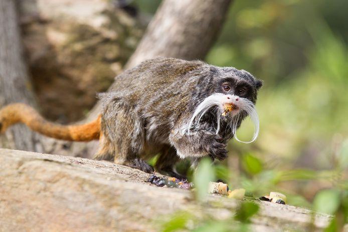 De keizertamarin. Het minuscule aapje is over anderhalf jaar mogelijk te bewonderen in een nieuw dierenpark in Lochem.