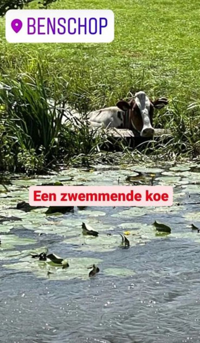 De zwemmende koe in kwestie