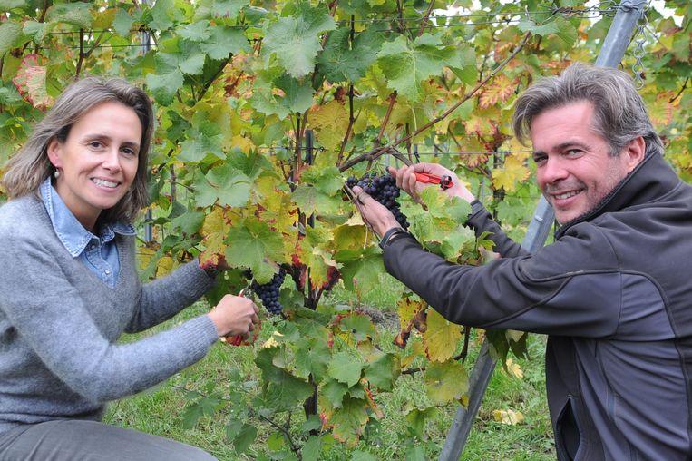Laurence De Kerpel en Joris Van Duffel oogsten hun blauwe druiven op hun wijndomein Nobel.