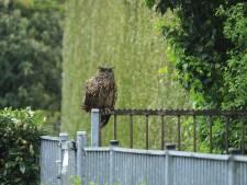 Oehoe strijkt neer in buurt van basisschool in Hulst