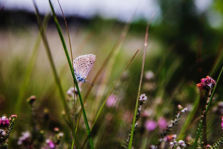 Het gentiaanblauwtje. Beeld Aurélie Geurts