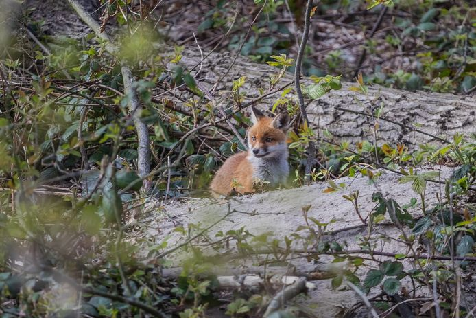 Dit vosje werd vandaag gespot in het Haagse Bos