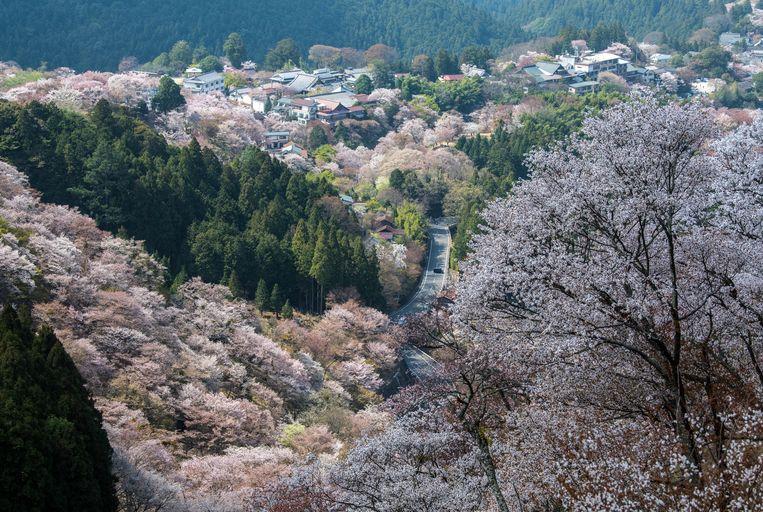 De Japanse stad Yoshini staat bekend om de duizenden kersenbomen. Beeld Carl Court/Getty Images