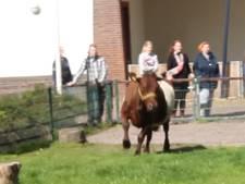 Dolle pret voor koeien Soof en July: eindelijk de wei in