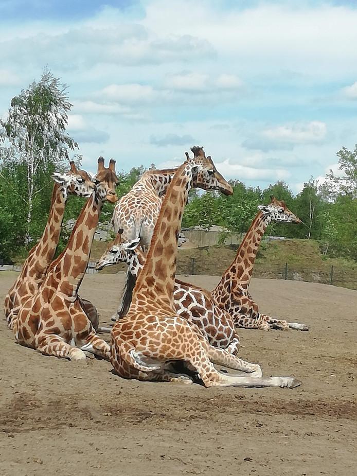 Giraffen genieten in de Beekse Bergen van het warme weer.
