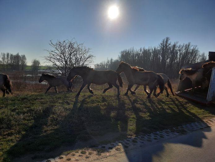 De eerste kudde van 17 konikpaarden is maandag in de Afferdense en Deestse Waarden gelaten.