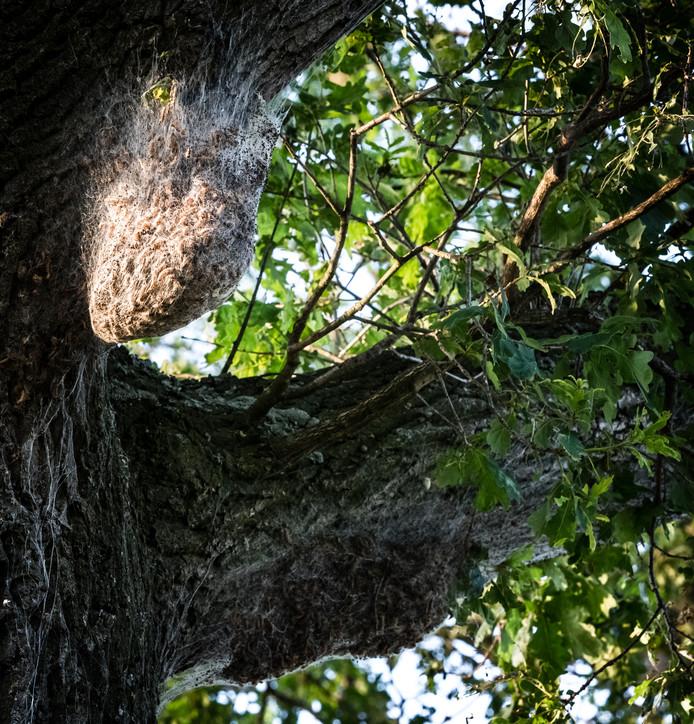 Een nest met processierupsen op een eikenboom. De overlast is dit jaar ernstig.