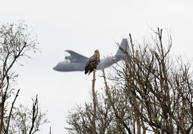 Een zeearend wordt gepasseerd door een Hercules-transportvliegtuig. Volgensde jongste gegevensbroedden in 2020 twintig paar in Nederland, een forse toename. Beeld Martijn de Jonge