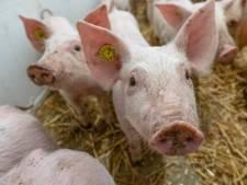 Plan halvering veestapel is 'messteek': 'Alleen de boeren worden nu aan de schandpaal genageld'