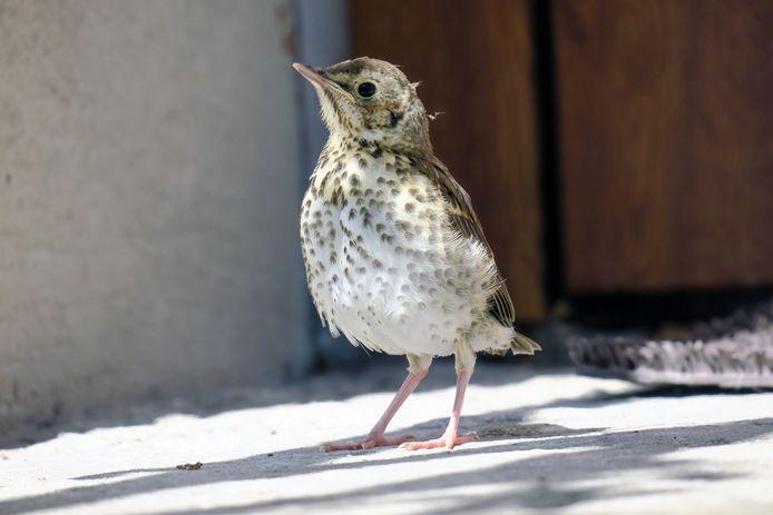Een jonge vogel op de grond hoeft niet altijd een probleem te zijn. ,,Als zo'n jonge vogel al veren heeft, zich kan voortbewegen en er goed gevoed uitziet, is er waarschijnlijk niets aan de hand.''