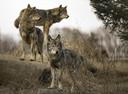 Een roedel wolven.